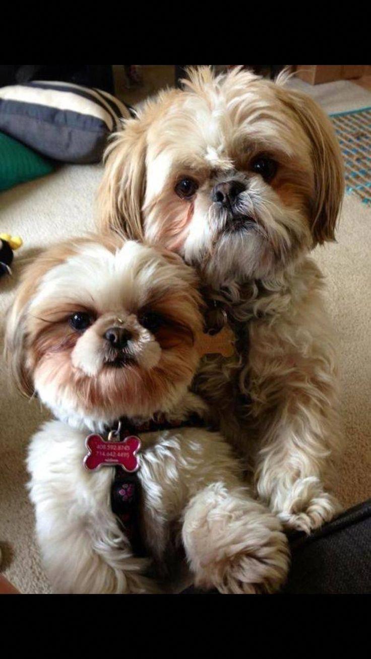 Shih Tzu Affectionate And Playful Shih Tzu Dog Shih Tzu Puppy
