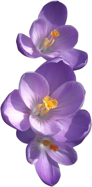 Purple African Violet Flower. Meaning Loyalty, devotion, faithfulness. tattoo idea