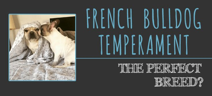 The french bulldog temperament is unlike no other dog. French bulldogs have an unparalleled expressive personality. They're in a league of their own!