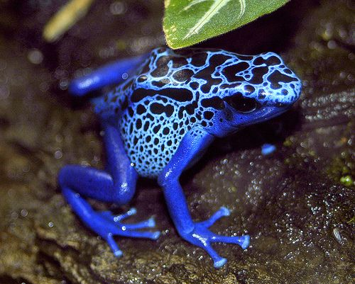poison-dart-frog-blue - my favorite type of frog in the whole world!
