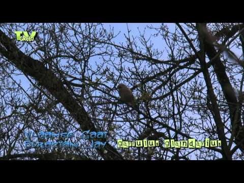 fauna wildlife vogel vogels vogelspotten birding pal bird birds birdwatch birdwatching gaai vlaamse gaai Garrulus glandarius Houtekster Eurasian Jay