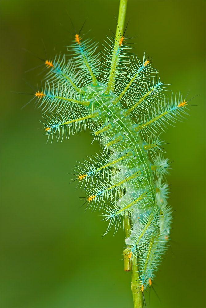 What an amazing caterpillar - the larva of an Archduke (Lexias pardalis dirteana) Butterfly pretending to be an evergreen conifer.