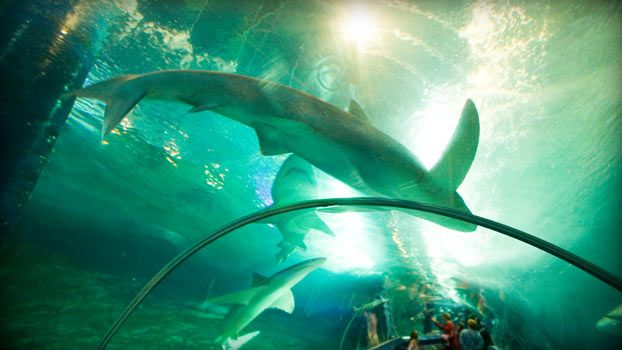 Sharks cruising overhead in transparent tunnel of Underwater World's oceanarium (Photo: Greg Elms/Lonely Planet) #airnzsunshine