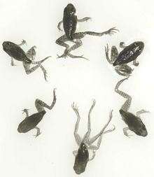 """Deformed Frogs - How Can You Help To Save Frogs? - #1 is DON""""T USE PESTICIDES!"""