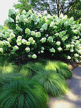 Limelight Hydrangea and SilkTassels Morrow's Sedge from http://www.mygardendiaries.com/2013/01/hold-tight-please.html