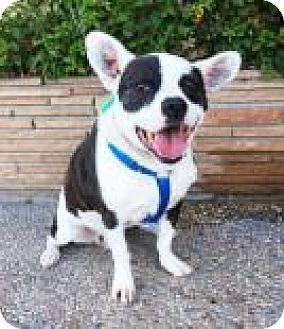 Santa Cruz, CA - French Bulldog Mix. Meet Vito, a dog for adoption. http://www.adoptapet.com/pet/18162724-santa-cruz-california-french-bulldog-mix
