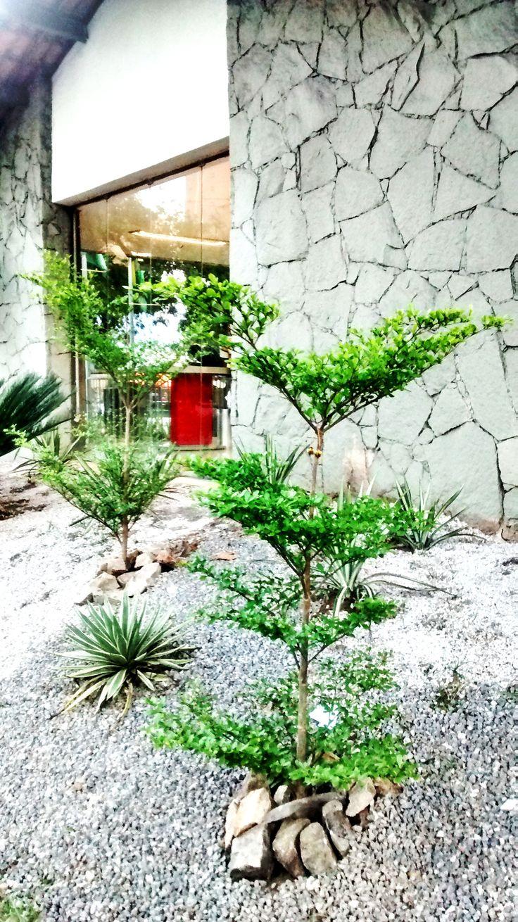 Terminalia mantaly, Bradesco Praça Portugal Pedra, brita, concreto e verde! Paisagismo : Franklin Maia e Georlando Pinheiro