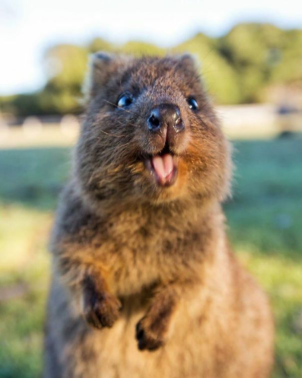 30 photos de quokkas, l'animal le plus heureux du monde - page 2