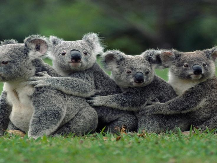 i meet all the koalafications irrelephant