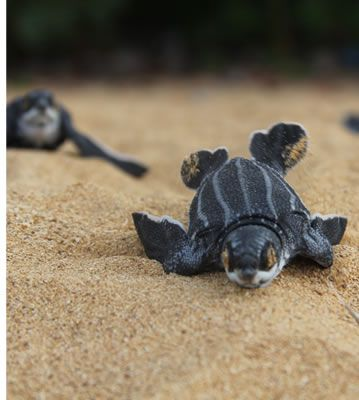 Sea Turtle hatching on Bluff Beach in Bocas del Toro, Panama