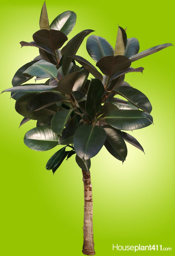 Pin On Indoors: Pin By Houseplant 411 On Indoor Trees
