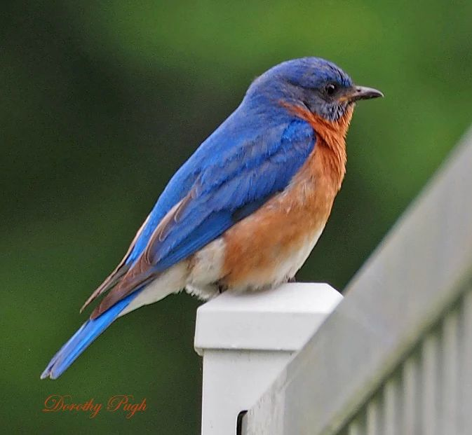 Photo: This male Eastern Bluebird was watching for prey from this vantage point…