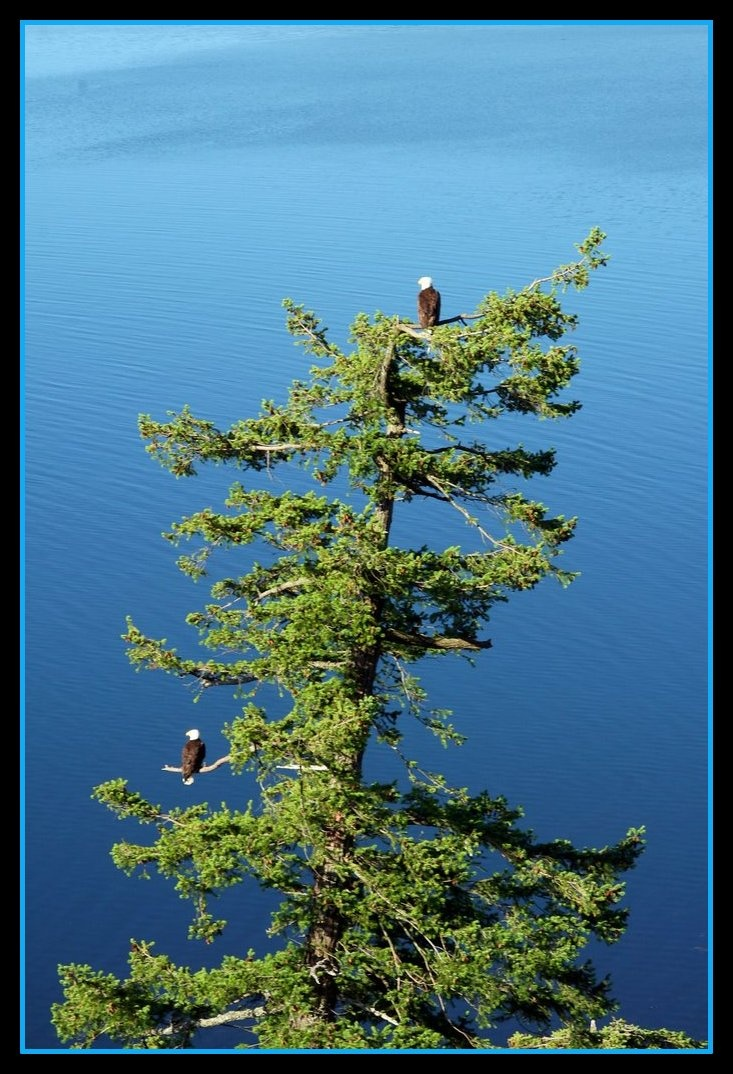 Gorgeous shot of treetop eagles. Kenora, Ontario provides countless sightings like these with eagles enjoying everything the Lake of the Woods provides, water, abundant protection with high trees and rock formations.