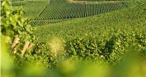Il vino Trentino Gewurztraminer: un inno alla gioia