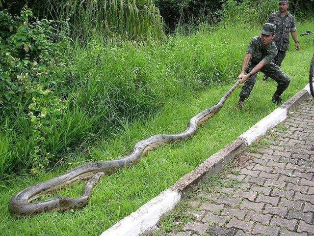 Green anaconda....yes, it is freaky how this is real....just never go in the amazon rain forest