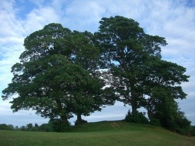 Sycamore Tree Care: How To Grow A Sycamore Tree -  Sycamore trees make handsome shade trees for large landscapes. If you live in a large enough area, planting this tree and caring for it is easy enough. For more information, read this article.