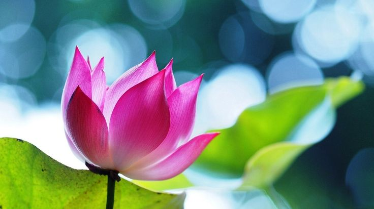 Gambar Bunga Teratai Pink