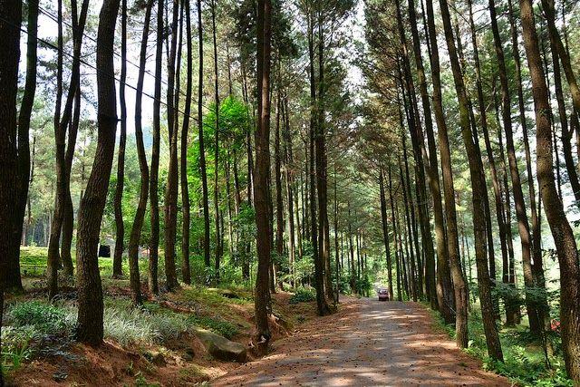 Hutan Pinus Gunung Pancar Hutan, Alam, Indonesia