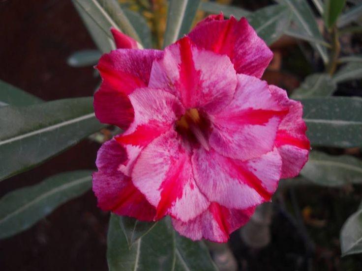 """MUDA ENXERTADA DE ROSA DO DESERTO (Adenium Obesum) COR: TS-321 Para maiores detalhes, veja as fotos e o vídeo com a flor da planta neste anúncio (quando disponível). IDADE DA PLANTA: Todos os """"Cavalos"""" (parte que recebe o enxerto) tem idade de 10 meses a 1 ano. TAMANHO DA PLANTA: Em geral, a média é de 20 a 30 cm (considerando a medida da ponta da raiz a ponta da planta) e com tamanho mínimo de 8 cm (para 1 galho) e 4 cm (para dois galhos ou mais) de enxerto desenvolvido; Atenção: 1) As ..."""