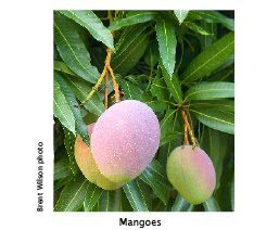 Mango (Mangifera indica) Mangoes are medium-sized evergreen tree 8-12m tall, 5-7m wide with dark green leaves and fist-sized yellow-apricot fruit.…