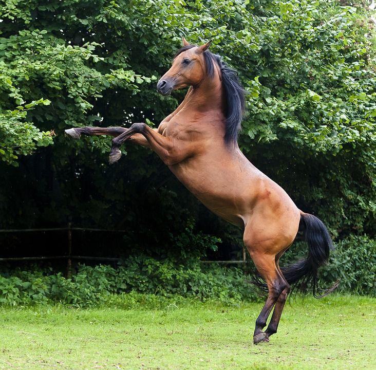 Araber, Hengst, Vollblutaraber, Pferd, Pferdeportrait