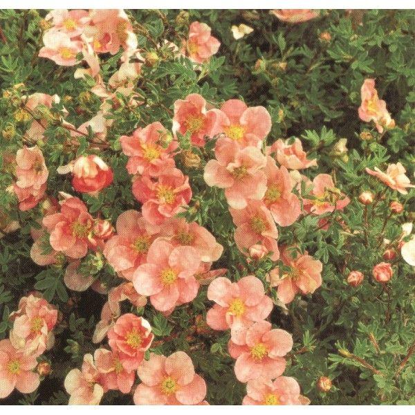 Ölandstok Pink Beauty