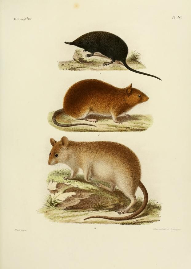 t.2 (1868-1874) [Atlas] - Recherches pour servir à l'histoire naturelle des mammifères : - Biodiversity Heritage Library