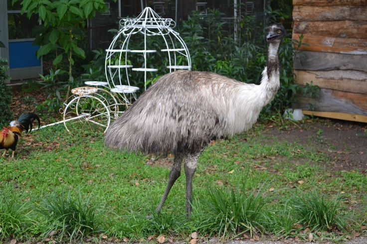 Marvin our Emu loves hanging out in our Botanical Gardens and greeting our Guest at Dade City's Wild Things