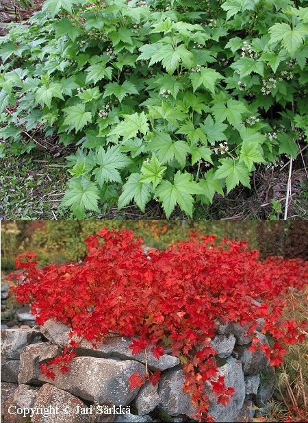 Lamoherukka (Ribes glandulosum), kaunis ruskaväri, lehdet puhkeavat aikaisin