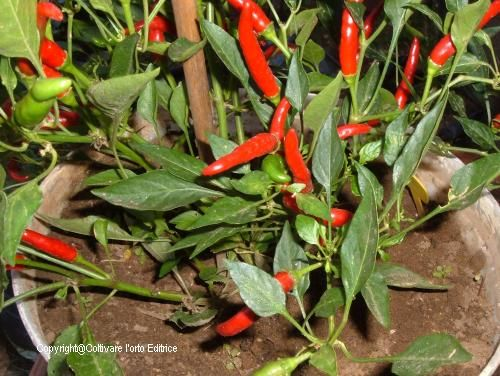 Coltivare un albero di peperoncino