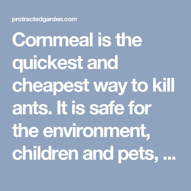 Cornmeal is the quickest and cheapest way to kill ants. It is safe for the environment, children and pets, and does not attract other pests. Poor little piles of cornmeal near the anthill, the ants will take it home to share. The cornmeal cannot be digested by the ants and they die. It may take a week or so to see the entire colony gone, but it works. | protractedgarden