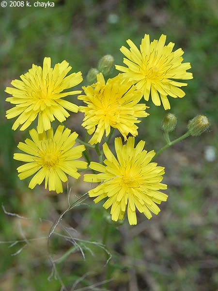 35 Best Common Weeds Of Alberta Images On Pinterest