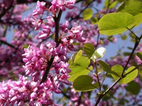 THE JUDAS TREE DOES NOT BETRAY
