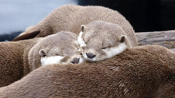 Otters snuggle up for a nap on their friend - October 21, 2014