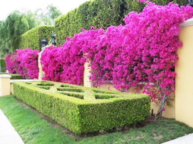 11 Contoh Gambar Bunga Bugenvil 9 Tanaman Hias Untuk Taman Dinding Vertikal Terpopuler Download Cara Merawat Bunga Bougenville Di 2020 Tanaman Bunga Menanam Bunga