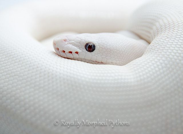 This ball python (Python regius) has leucism, a genetic condition caused by a recessive allele. Leucism causes all pigments in the body to be reduced. This differs from albinism because in albinos, only melanin production is inhibited.  Photograph by Jonny Peace.