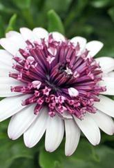 Osteospermum Flower Power Double - Berry White
