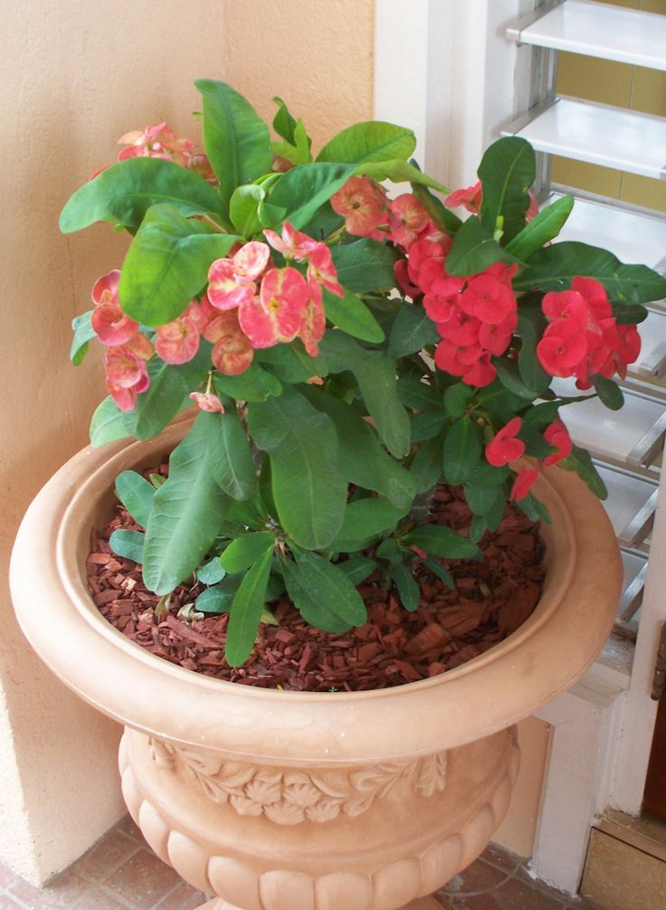 Crown of thorns care instructions we have a few crown of for Crown of thorns plant