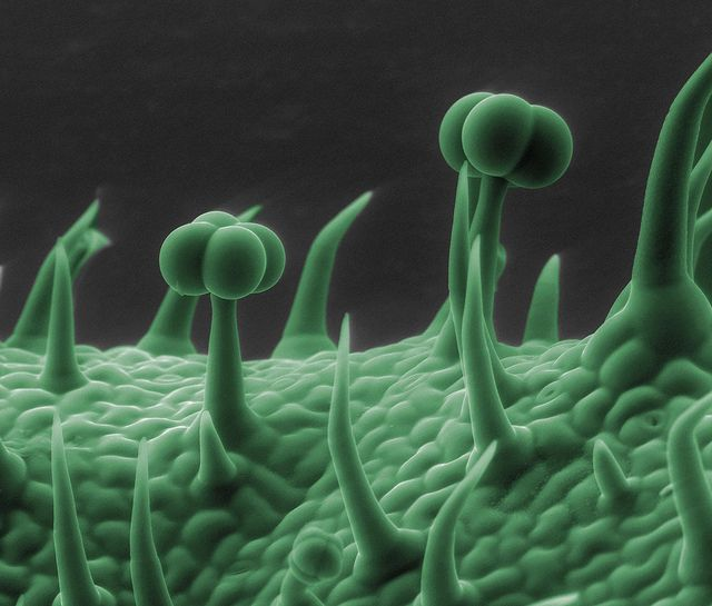 Tomato    Surface of a tomato leaf    Courtesy of Ken Bart