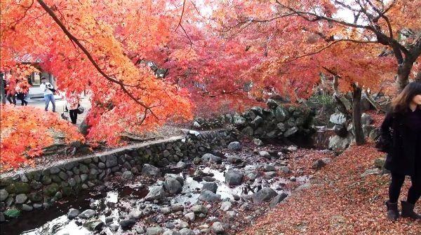 "奈良市にある「奈良公園」の紅葉がピークを迎え、多くの観光客が訪れ、彩り豊かな紅葉を楽しんでいる。Nara-shi ni aru ""Nara Kouen"" no kouyou ga piiku wo mukae, ooku no kankoukyaku ga otozure, irodori yutaka na kouyou wo tanoshinde iru. Daun merah di ""Taman Nara"" di kota Nara menyambut puncaknya, banyak wisatawan berkunjung, dan menikmati daun merah yang berwarna-warni."