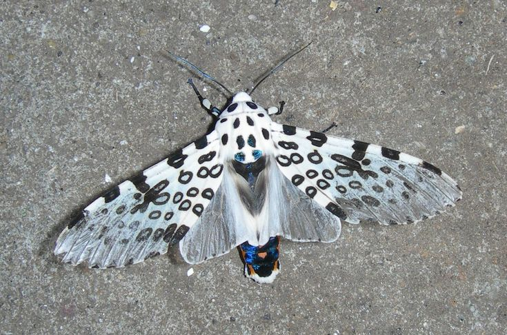 Giant+Leopard+Moth | Giant Leopard Moth - Facts and Pictures