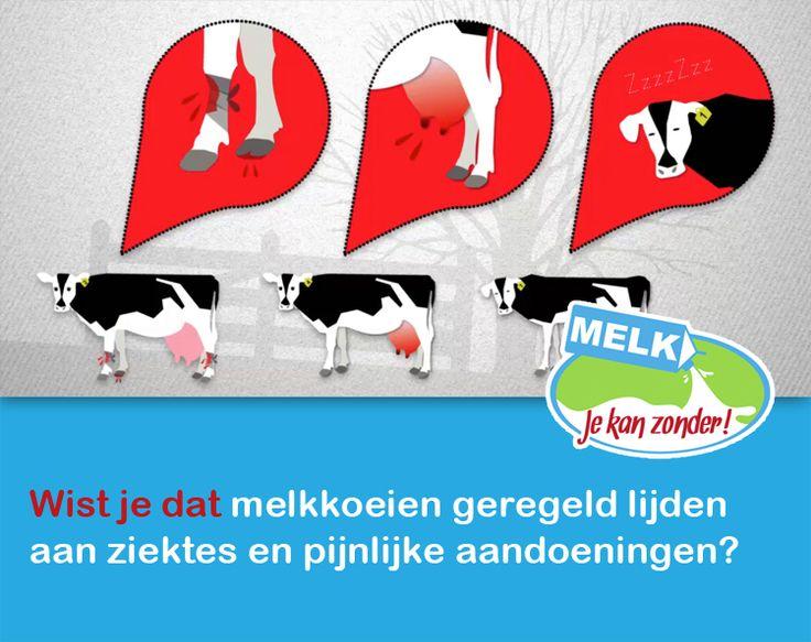 In de intensieve zuivelindustrie zijn melkkoeien nadat ze gemiddeld 3 jaar melk hebben gegeven letterlijk uitgemolken. Hun gezondheid gaat vanaf dan aanzienlijk achteruit wat de kwaliteit en hoeveelheid melk negatief beïnvloedt. De melkkoe is zodra de melkproductie/gezondheid achteruit gaat niet meer winstgevend voor de melkboer en zal worden afgekeurd waarna ze op transport wordt gezet naar de slager.