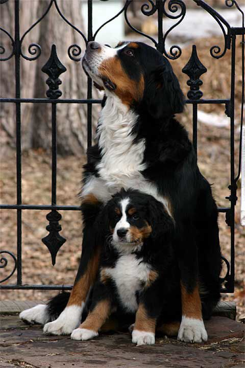Aww! Mom and daughter (I think)! It's Bernese Mountain dogs!