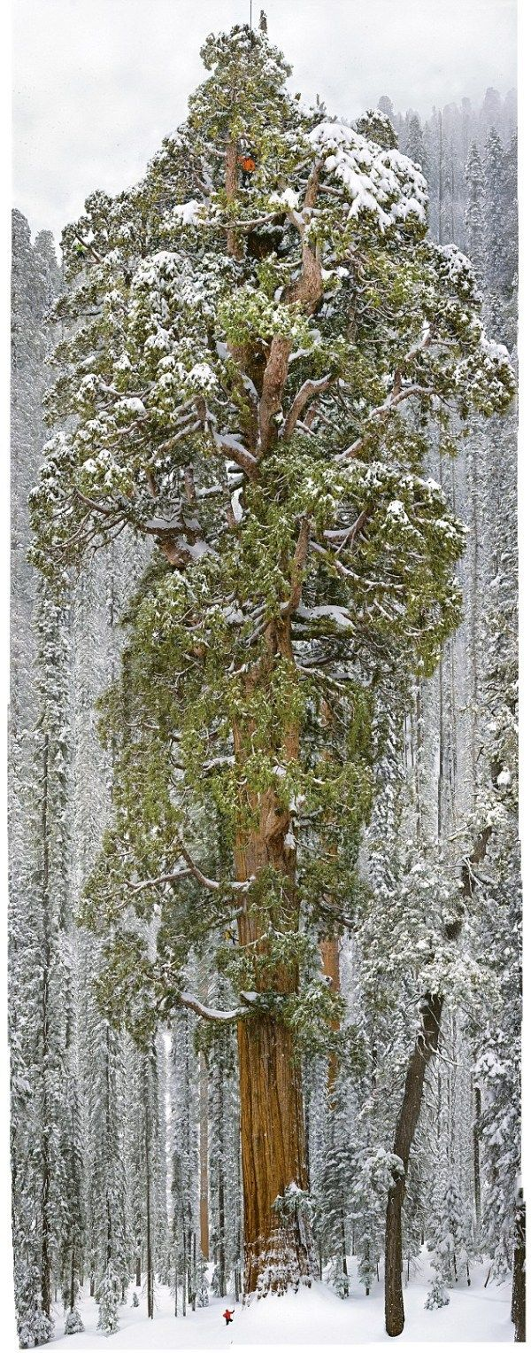 This Tree Is 3200 Years Old. But It's So Huge It's Never Been Captured In One Photo… Until Now.