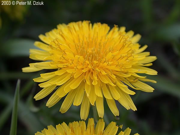 DANDELION Taraxacum officinale (Common Dandelion): Minnesota Wildflowers