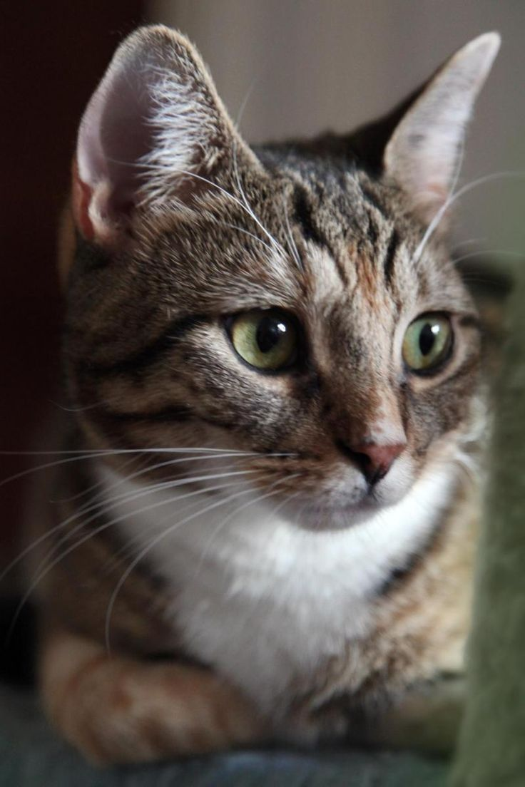 48 best Adoptable Cats in Brooklyn NY images on Pinterest