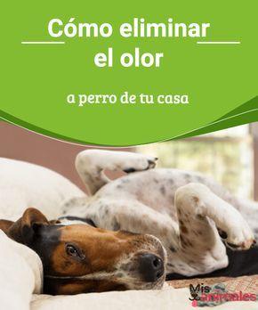 Cómo eliminar el olor a perro de tu casa   Los dueños de un perro comparten un mismo miedo, que su casa tenga un mal olor. Así que te vamos a contar cómo eliminar el olor a perro de tu casa de forma sencilla con algunos consejos. #olor #perro #hogar #consejos