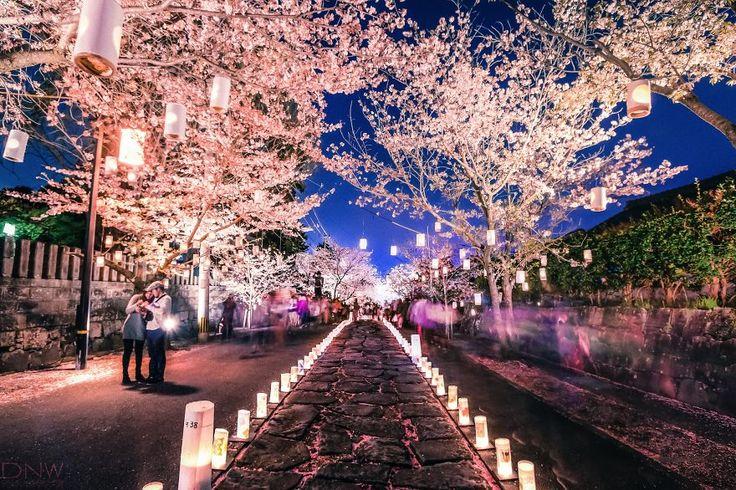 Cherry Blossom Lantern Festival in Japan  This picture is from the 2013 cherry blossom lantern festival held at Honmyō-ji in Kumamoto, Japan.