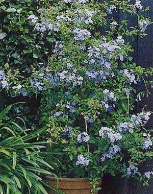 """Σπίτι και Κήπος/Πλουμπάγκο--""""μπλε γιασεμί""""--"""