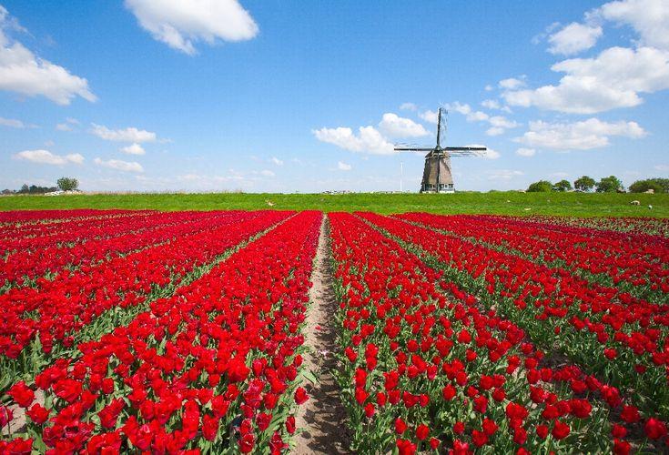 Olanda e Aruba Dai tulipani all'isola felice